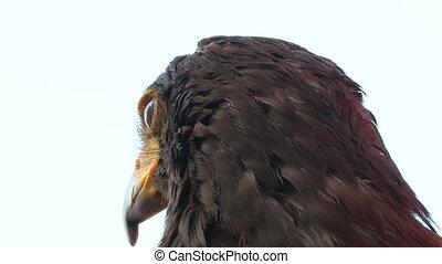 golden eagle close up 01