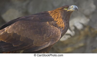 Golden eagle close-up