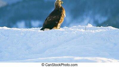 Golden eagle eats on a dead animal in the mountains at...