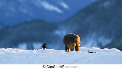 Golden eagle eats prey in the mountains at winter