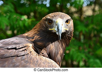 golden eagle is looking in the cam