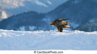 Golden eagle landing in the snow at mountain peak at the...