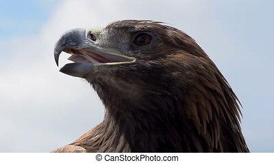 Golden Eagle Looks Around