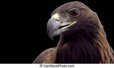 Golden eagle on a transparent backg