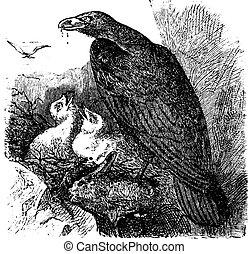 Golden eagle or Aquila chrysaetos vintage engraving, vector.