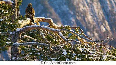 Golden eagle sits in tree at the top of the high mountains at winter