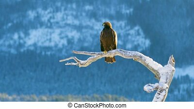 Golden eagle sits on a tree in the mountains at winter