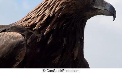 Golden Eagle Spread its Wings HD