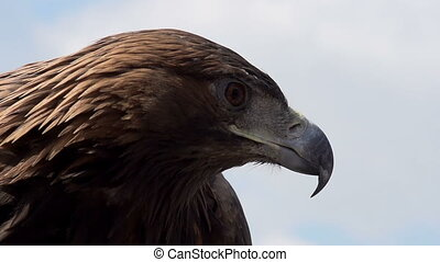 Golden Eagle Spread its Wings - Slow Motion at a rate of 240...