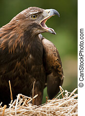 Golden Eagle (Aquila chrysaetos) in the Scottish Highlands
