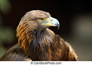Golden Eagle - Portrait of a Golden Eagle