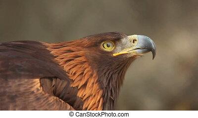 Golden eagle - Portrait of Golden eagle (Aquila chrysaetos)
