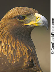 Golden Eagle - The golden eagle is one of the most ...