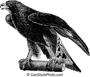 Golden eagle, vintage engraving.