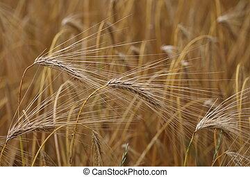 Golden ear of rye in the field