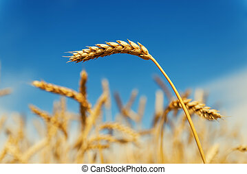 golden ear of wheat on field under deep blue sky