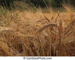 Golden ears of barley and rye