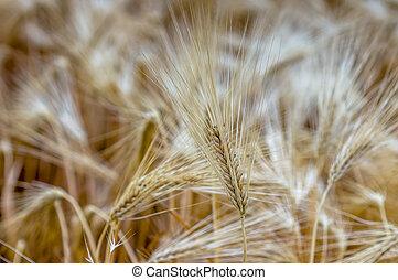 golden ears of barley in a field