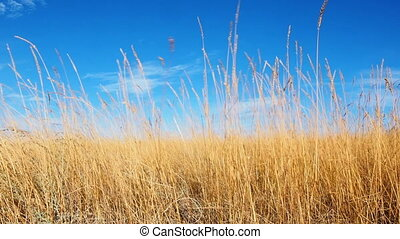 Golden ears of grass swaying in the light breeze at sunset....