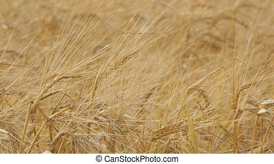 Golden ears of ripe wheat. Selective focus