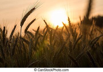 Golden ears of ripening wheat in a wheatfield - Golden ears...