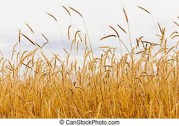 Golden ears of rye.