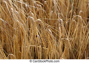 Golden ears of rye growing in the field