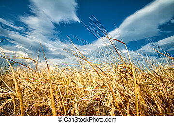Golden ears of wheat against blue sky
