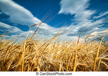 Golden ears of wheat against the blue sky