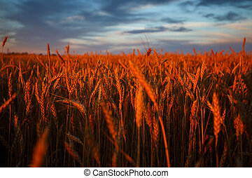 Golden ears of wheat on the field with cloudy sky on background. Sunset light