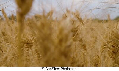 golden ears of wheat planted in the field of agriculture for the preparation of bakery products