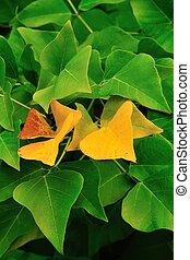 golden Erythrina leaves