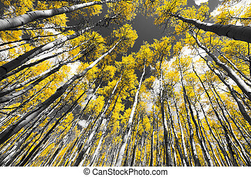 Golden Fall Aspen Tree Forest in Colorado Mountains