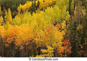 Golden fall aspen trees Yukon boreal forest taiga
