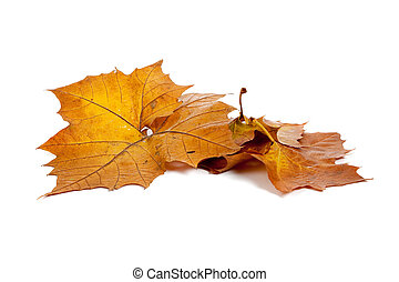 Golden fall leaves on a white background