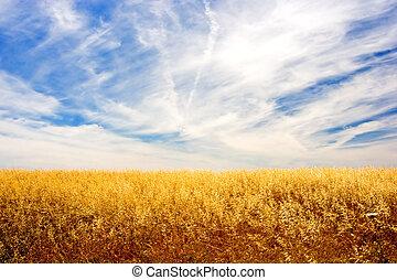 Golden Field - Golden wheat field and sky