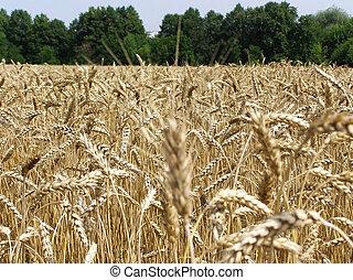 golden field, grain, bread