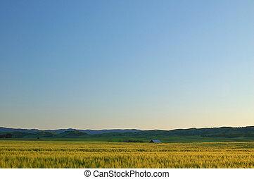 golden field - grassy field in the spring
