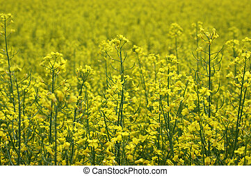 Golden field of flowering rapeseed