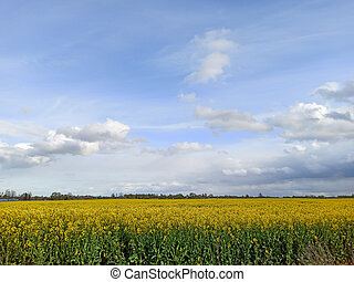 Golden Field of Flowering Rapeseed With Blue Sky - Brassica Napus - Plant for Green Energy and Oil Industry in Europe in Early Spring, Cloudy Sky