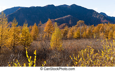 Golden field of Senjogahara