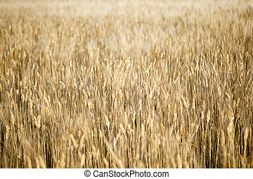 Golden field of wheat