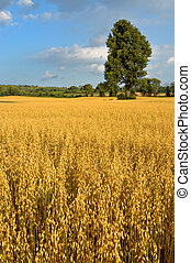 Golden Field - Towering tree surrounded by golden oat field ...