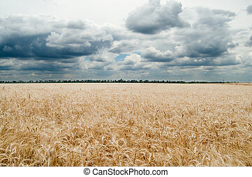 golden field under dramatic sky