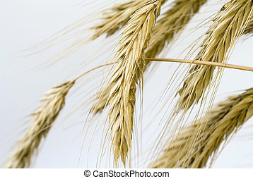 golden-field - wheat on the white background