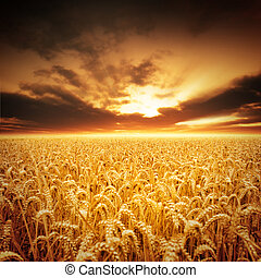 Golden Fields - Golden fields of beautiful wheat.