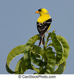 golden finch perched on a leaf with sky blue background