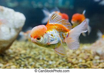 golden fish in a freshwater aquarium