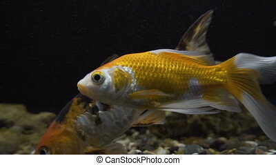 Golden Fish in the Aquarium