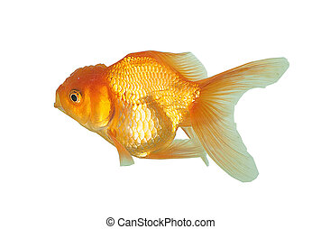 Golden fish isolated on white background